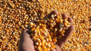 maiz-grano-comida