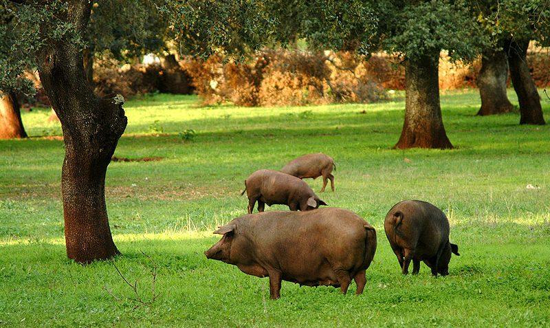 cerdo-jamon-iberico-liga-jamones-españoles